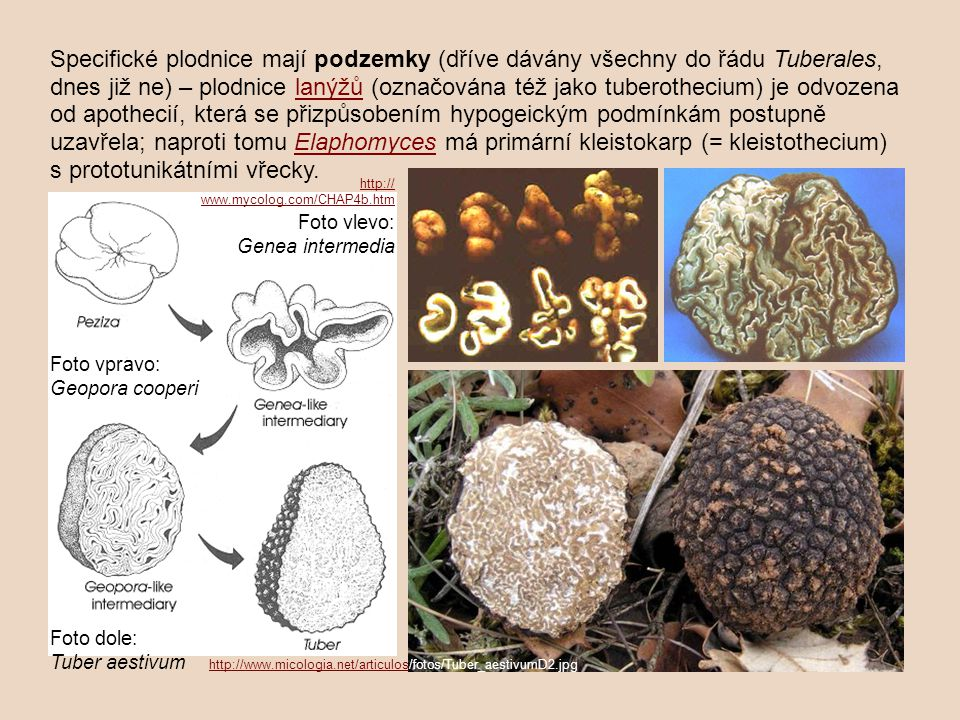 Specifické plodnice mají podzemky (dříve dávány všechny do řádu Tuberales, dnes již ne) – plodnice lanýžů (označována též jako tuberothecium) je odvozena od apothecií, která se přizpůsobením hypogeickým podmínkám postupně uzavřela; naproti tomu Elaphomyces má primární kleistokarp (= kleistothecium) s prototunikátními vřecky.lanýžůElaphomyces Foto dole: Tuber aestivum http://www.micologia.net/articulos/fotos/Tuber_aestivumD2.jpg http://www.micologia.net/articulos http:// www.mycolog.com/CHAP4b.htm Foto vlevo: Genea intermedia Foto vpravo: Geopora cooperi
