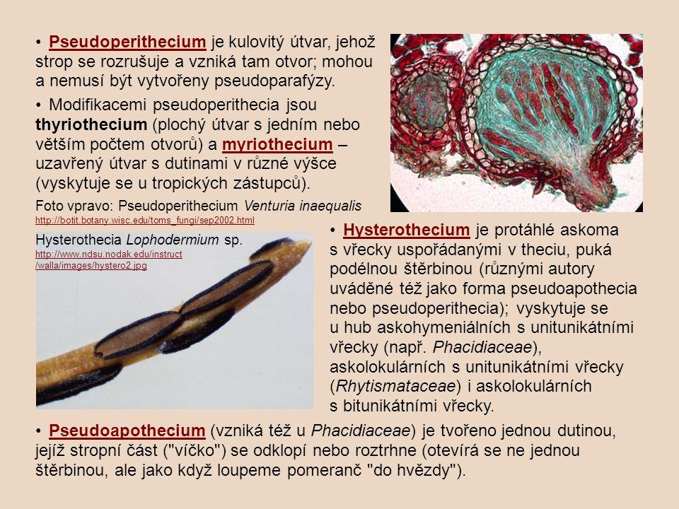 Pseudoperithecium je kulovitý útvar, jehož strop se rozrušuje a vzniká tam otvor; mohou a nemusí být vytvořeny pseudoparafýzy.Pseudoperithecium Modifikacemi pseudoperithecia jsou thyriothecium (plochý útvar s jedním nebo větším počtem otvorů) a myriothecium – uzavřený útvar s dutinami v různé výšce (vyskytuje se u tropických zástupců).myriothecium Foto vpravo: Pseudoperithecium Venturia inaequalis http://botit.botany.wisc.edu/toms_fungi/sep2002.html http://botit.botany.wisc.edu/toms_fungi/sep2002.html Hysterothecium je protáhlé askoma s vřecky uspořádanými v theciu, puká podélnou štěrbinou (různými autory uváděné též jako forma pseudoapothecia nebo pseudoperithecia); vyskytuje se u hub askohymeniálních s unitunikátními vřecky (např.