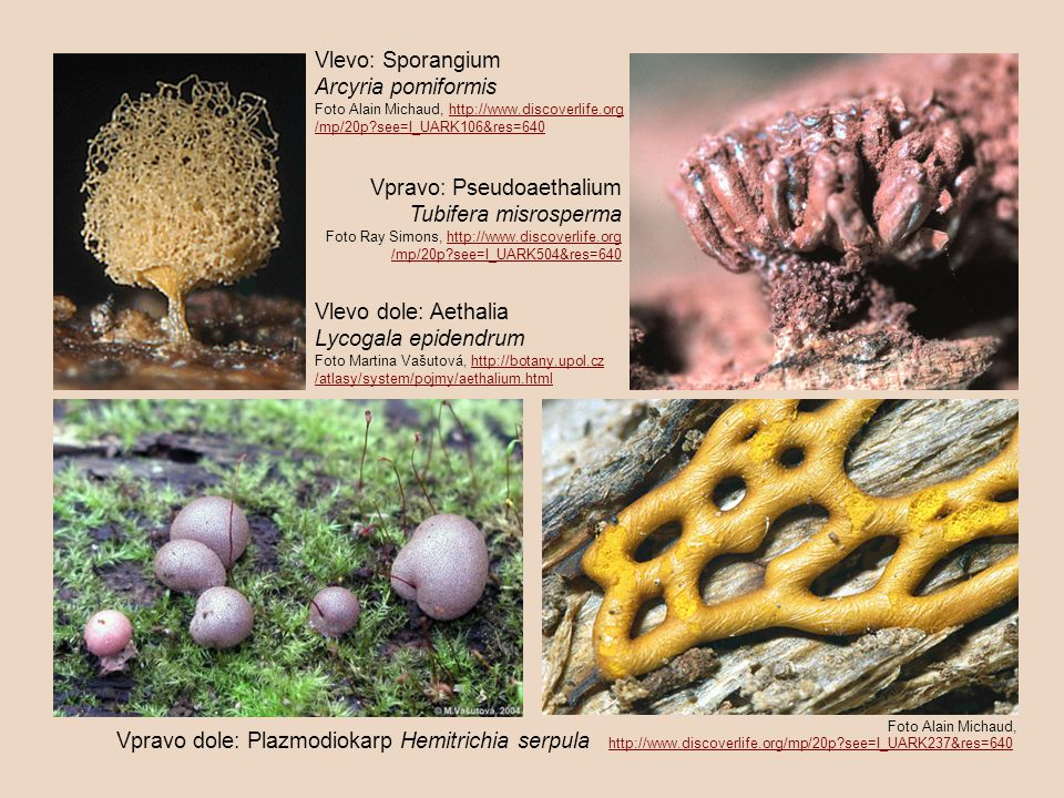 Vlevo: Sporangium Arcyria pomiformis Foto Alain Michaud, http://www.discoverlife.orghttp://www.discoverlife.org /mp/20p?see=I_UARK106&res=640 Vpravo: Pseudoaethalium Tubifera misrosperma Foto Ray Simons, http://www.discoverlife.orghttp://www.discoverlife.org /mp/20p?see=I_UARK504&res=640 Vlevo dole: Aethalia Lycogala epidendrum Foto Martina Vašutová, http://botany.upol.czhttp://botany.upol.cz /atlasy/system/pojmy/aethalium.html Vpravo dole: Plazmodiokarp Hemitrichia serpula http://www.discoverlife.org/mp/20p?see=I_UARK237&res=640 http://www.discoverlife.org/mp/20p?see=I_UARK237&res=640 Foto Alain Michaud,