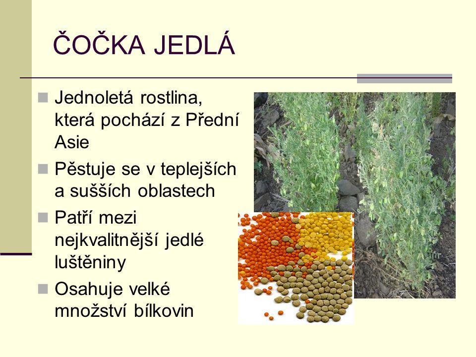 SÓJA LUŠTINATÁ Jednoletá rostlina, náročná na teplotu, půdu i vlhkost Obsahuje hodně proteinů Využívá v kuchyni nebo krmivo pro hospodářská zvířata, vyrábí se z ní oleje i mýdla