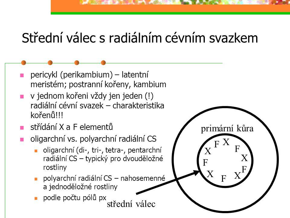 Střední válec s radiálním cévním svazkem pericykl (perikambium) – latentní meristém; postranní kořeny, kambium v jednom kořeni vždy jen jeden (!) radi