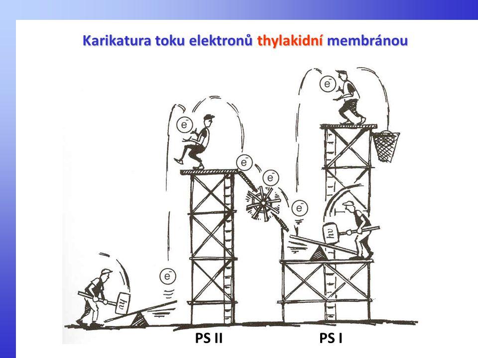 Karikatura toku elektronů thylakidní membránou PS IIPS I