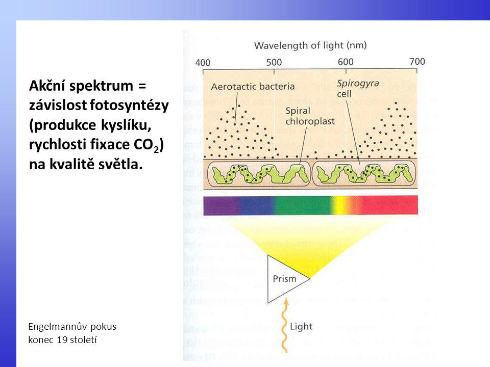 Akční spektrum = závislost fotosyntézy (produkce kyslíku, rychlosti fixace CO 2 ) na kvalitě světla. Engelmannův pokus konec 19 století