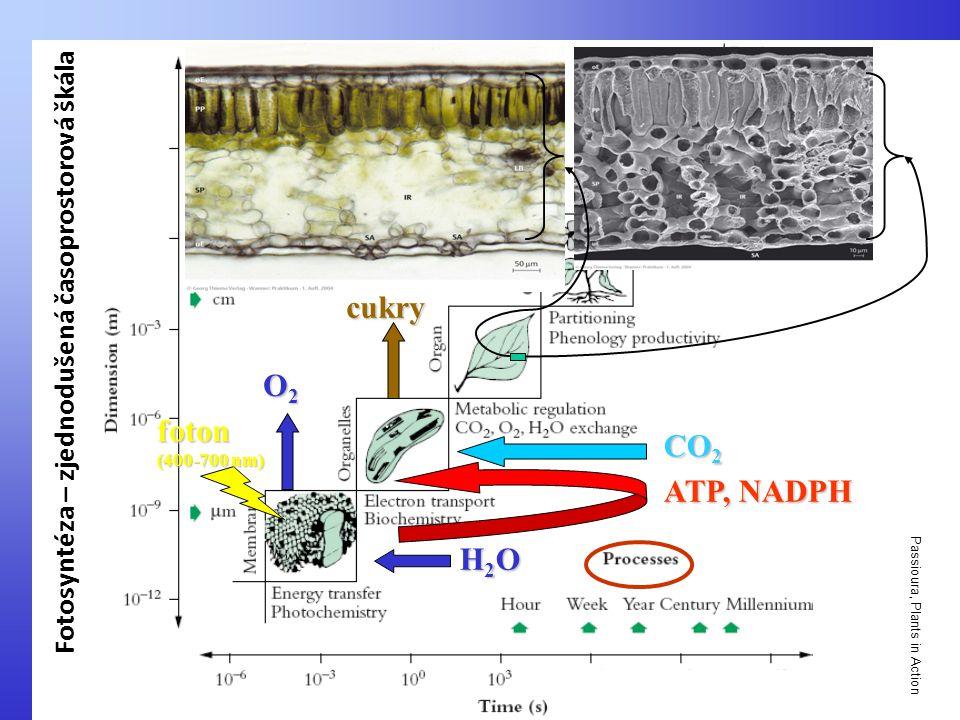 Passioura, Plants in Action H2OH2OH2OH2O O2O2O2O2 ATP, NADPH CO 2 cukry foton (400-700 nm) Fotosyntéza – zjednodušená časoprostorová škála
