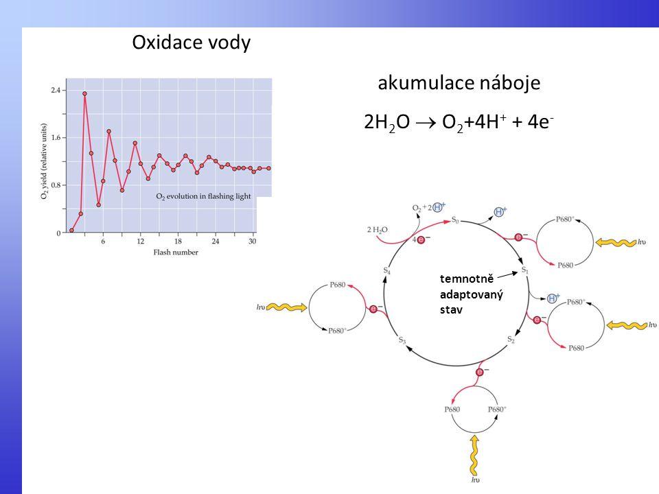 Oxidace vody 2H 2 O  O 2 +4H + + 4e - temnotně adaptovaný stav akumulace náboje