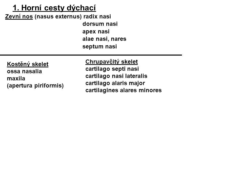 Sliznice: víceřadý řasinkový epitel Trachea se ve výši Th 4-5 dělí na: primární průdušky Bronchus principalis dexter Bronchus principalis sinister Trachea (C6–Th4 nebo 5) Kratší, širší odstupuje méně cizí těleso vniká v 75% do pravé průdušky rozvětvení (bronchiální strom – arbor bronchiales) Cartilagines tracheales (15-20, tvar podkovy) Ligamenta anularia Paries membranaceus (vazivo, hladká svalovina)