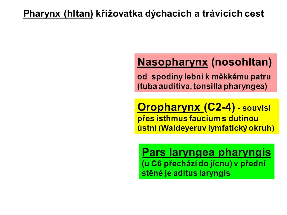 Larynx 1) Vestibulum laryngis epiglottis (aditus laryngis) až plicae vestibulares 2) Ventriculus laryngis plicae vestibulares až plicae vocales rima glottidis – sagitální štěrbina mezi vazy hlasovými 3) Cavitas infraglottica