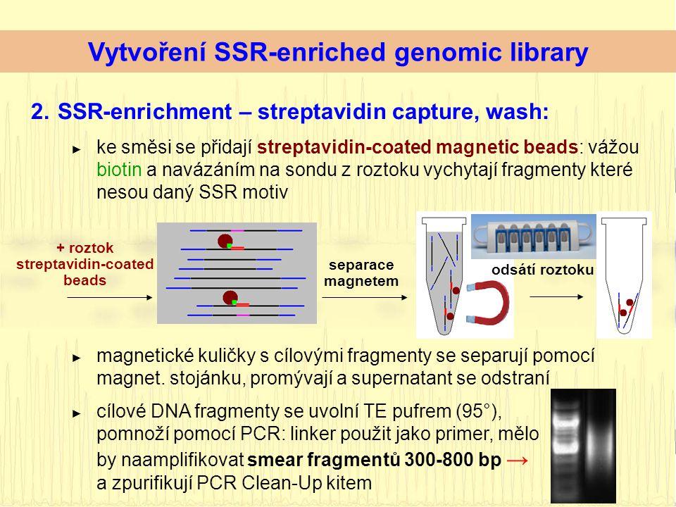 2.SSR-enrichment – streptavidin capture, wash: ► ke směsi se přidají streptavidin-coated magnetic beads: vážou biotin a navázáním na sondu z roztoku vychytají fragmenty které nesou daný SSR motiv separace magnetem + roztok streptavidin-coated beads odsátí roztoku Vytvoření SSR-enriched genomic library ► magnetické kuličky s cílovými fragmenty se separují pomocí magnet.