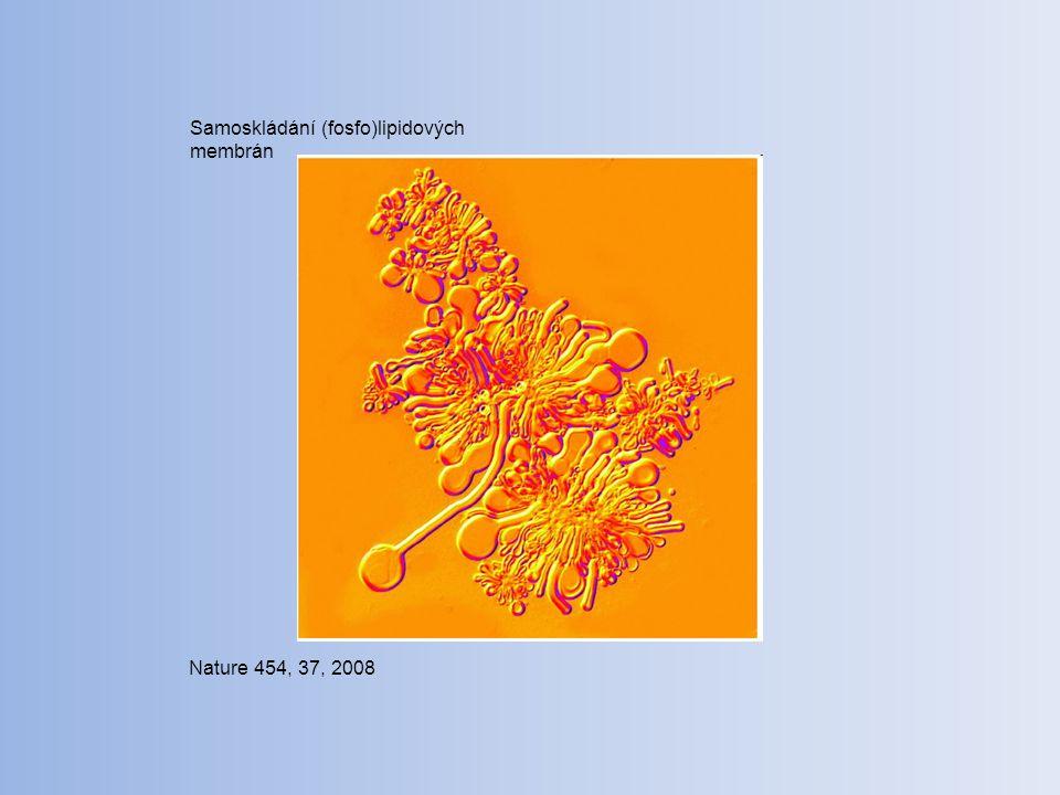 Nature 454, 37, 2008 Samoskládání (fosfo)lipidových membrán