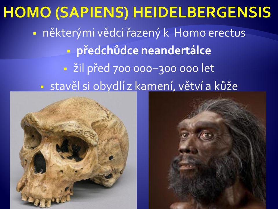 HOMO (SAPIENS) HEIDELBERGENSIS  některými vědci řazený k Homo erectus  předchůdce neandertálce  žil před 700 000−300 000 let  stavěl si obydlí z kamení, větví a kůže