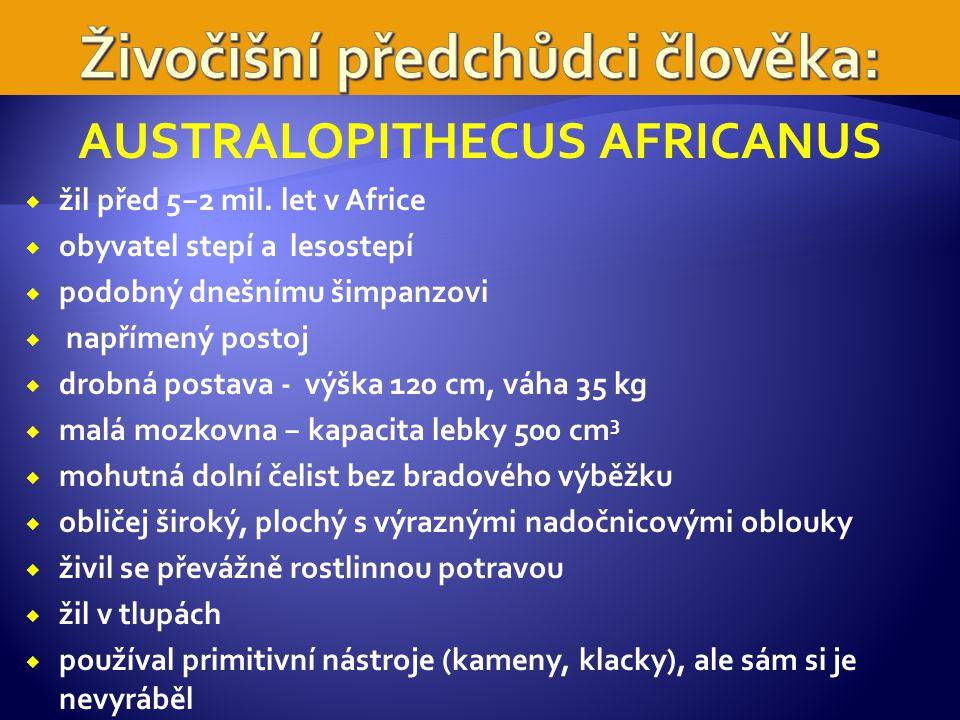 AUSTRALOPITHECUS AFRICANUS  žil před 5−2 mil.