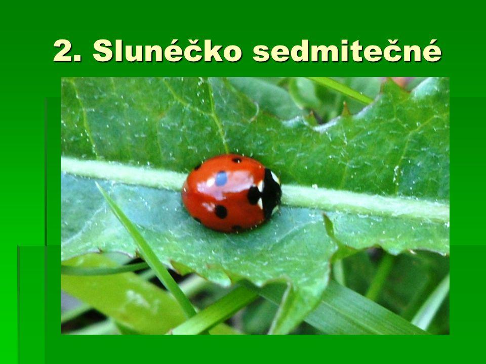 2. Slunéčko sedmitečné