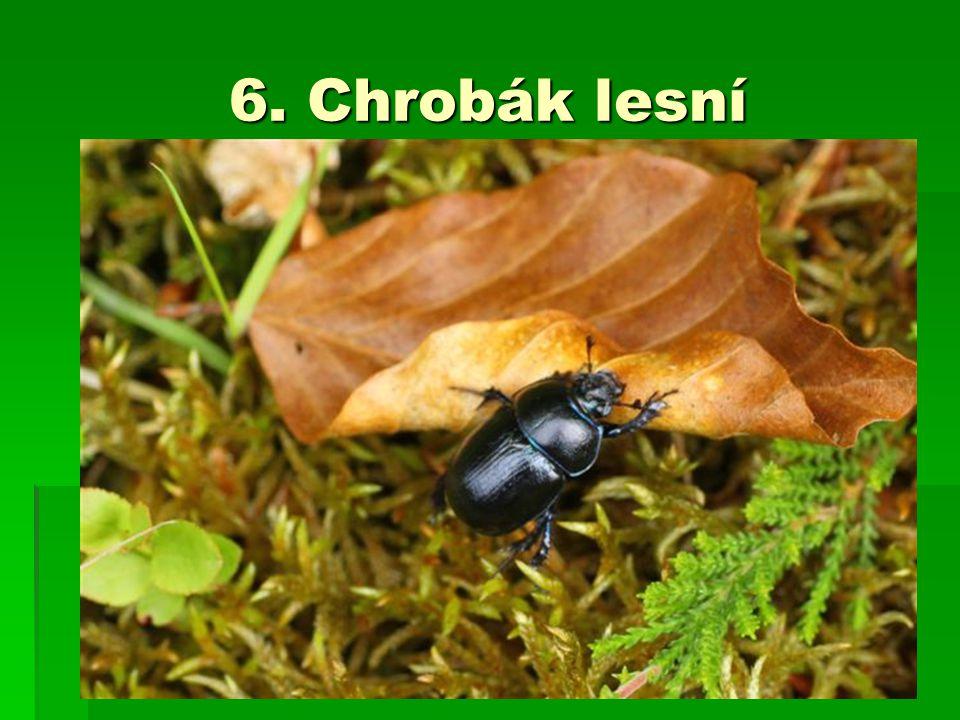 6. Chrobák lesní