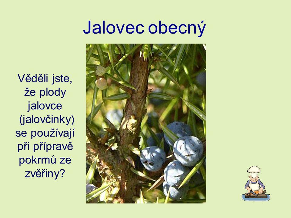 Jalovec obecný Věděli jste, že plody jalovce (jalovčinky) se používají při přípravě pokrmů ze zvěřiny?