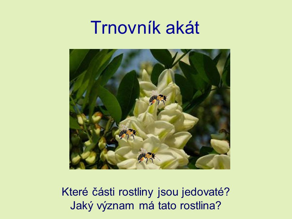 Trnovník akát Které části rostliny jsou jedovaté? Jaký význam má tato rostlina?