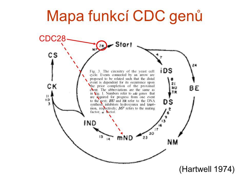 Mapa funkcí CDC genů (Hartwell 1974) CDC28