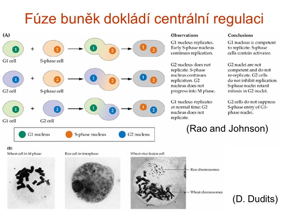 Fúze buněk dokládí centrální regulaci (Rao and Johnson) (D. Dudits)