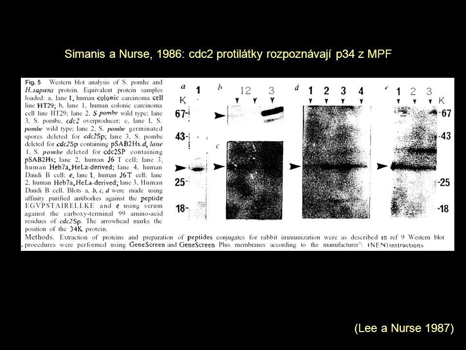 Simanis a Nurse, 1986: cdc2 protilátky rozpoznávají p34 z MPF (Lee a Nurse 1987)