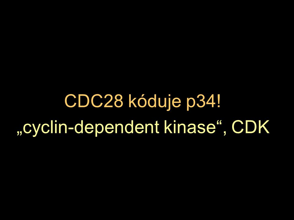 "CDC28 kóduje p34! ""cyclin-dependent kinase"", CDK"