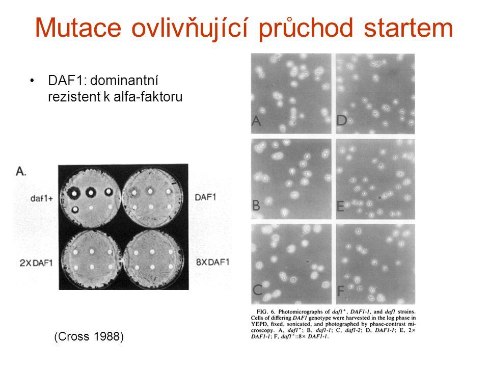 Mutace ovlivňující průchod startem DAF1: dominantní rezistent k alfa-faktoru (Cross 1988)