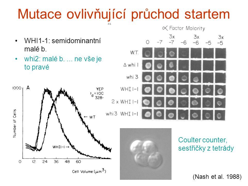 Mutace ovlivňující průchod startem WHI1-1: semidominantní malé b.
