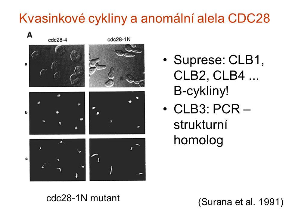 Kvasinkové cykliny a anomální alela CDC28 Suprese: CLB1, CLB2, CLB4...