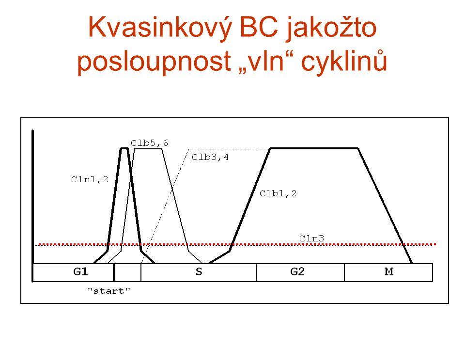 """Kvasinkový BC jakožto posloupnost """"vln cyklinů"""