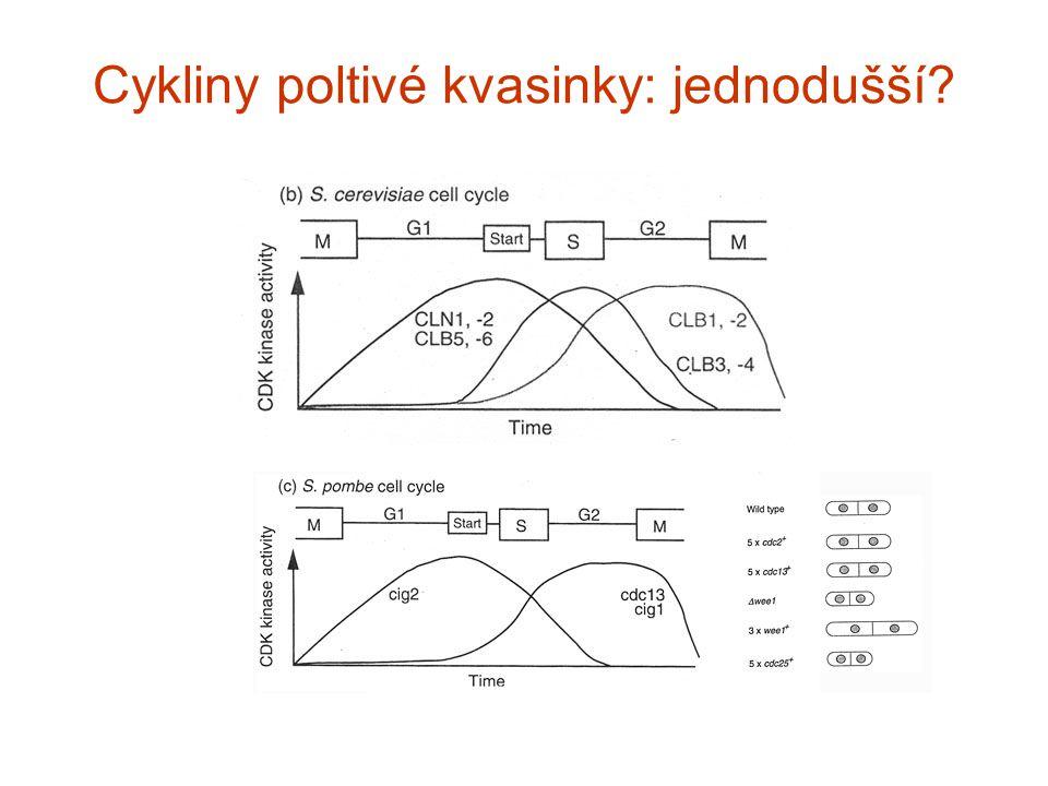 Cykliny poltivé kvasinky: jednodušší