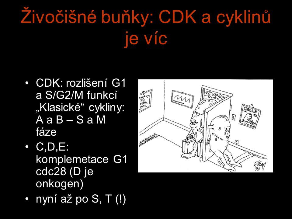 """Živočišné buňky: CDK a cyklinů je víc CDK: rozlišení G1 a S/G2/M funkcí """"Klasické cykliny: A a B – S a M fáze C,D,E: komplemetace G1 cdc28 (D je onkogen) nyní až po S, T (!)"""