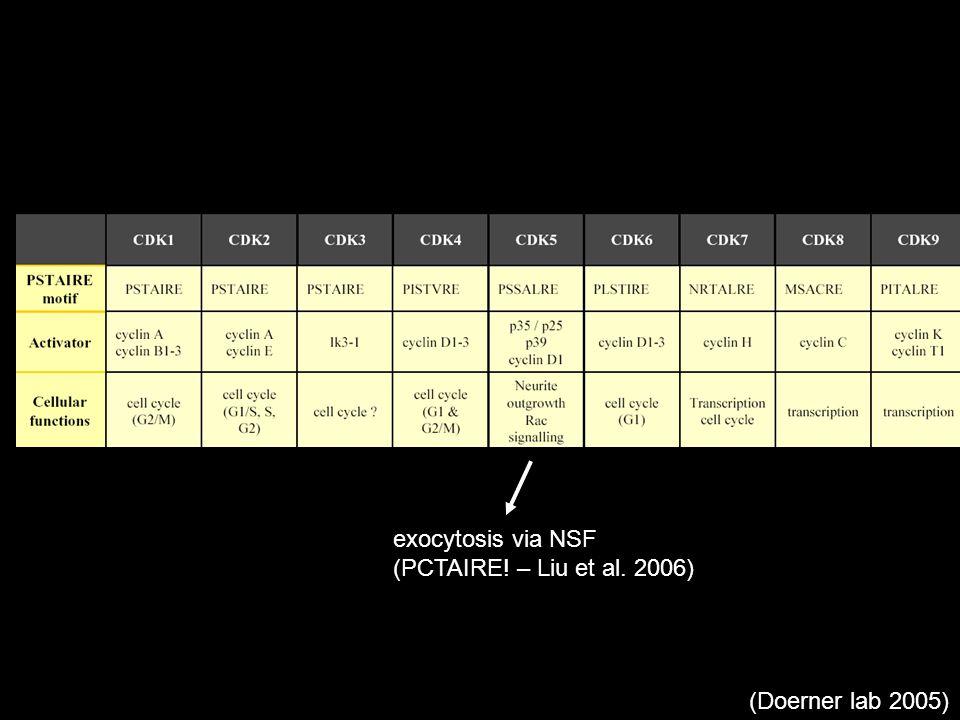 (Doerner lab 2005) exocytosis via NSF (PCTAIRE! – Liu et al. 2006)