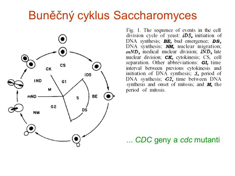 Buněčný cyklus Saccharomyces... CDC geny a cdc mutanti