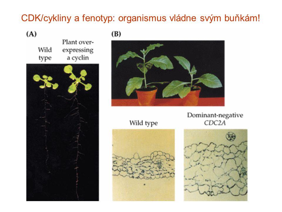CDK/cykliny a fenotyp: organismus vládne svým buňkám!