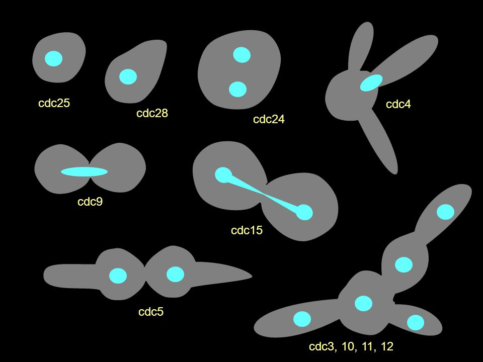 cdc25 cdc28 cdc24 cdc4 cdc9 cdc15 cdc5 cdc3, 10, 11, 12