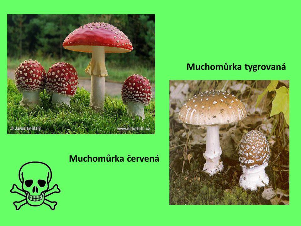 Mezi houby patří i plísně. Plíseň penicilinová