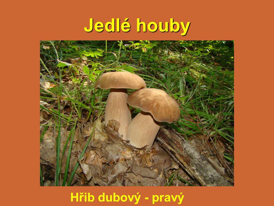 Jedlé houby Hřib dubový - pravý