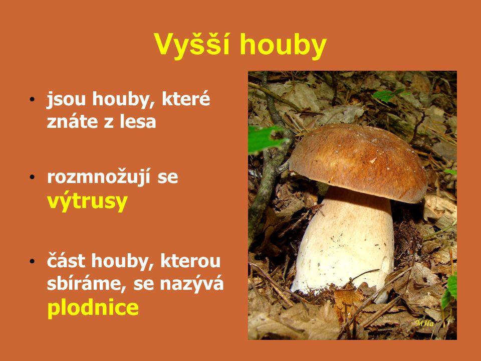 Vyšší houby jsou houby, které znáte z lesa rozmnožují se výtrusy část houby, kterou sbíráme, se nazývá plodnice