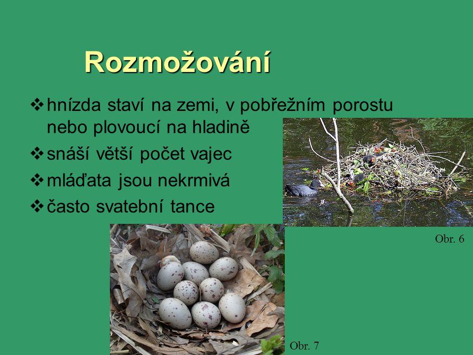 Rozmožování  hnízda staví na zemi, v pobřežním porostu nebo plovoucí na hladině  snáší větší počet vajec  mláďata jsou nekrmivá  často svatební tance Obr.