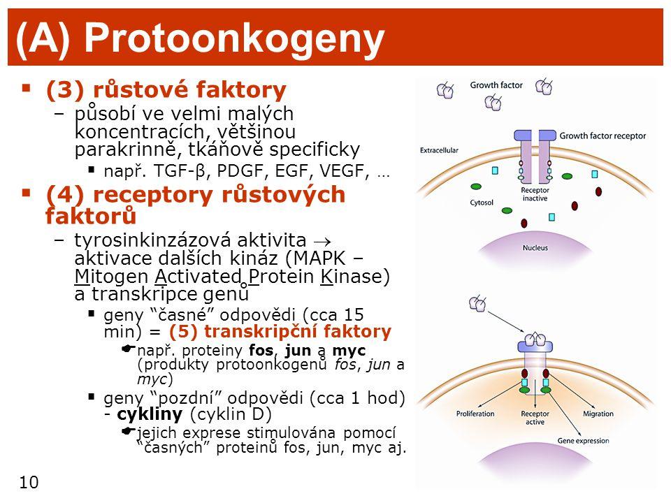 10 (A) Protoonkogeny  (3) růstové faktory –působí ve velmi malých koncentracích, většinou parakrinně, tkáňově specificky  např. TGF-β, PDGF, EGF, VE