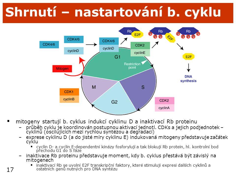 17 Shrnutí – nastartování b. cyklu  mitogeny startují b. cyklus indukcí cyklinu D a inaktivací Rb proteinu –průběh cyklu je koordinován postupnou akt