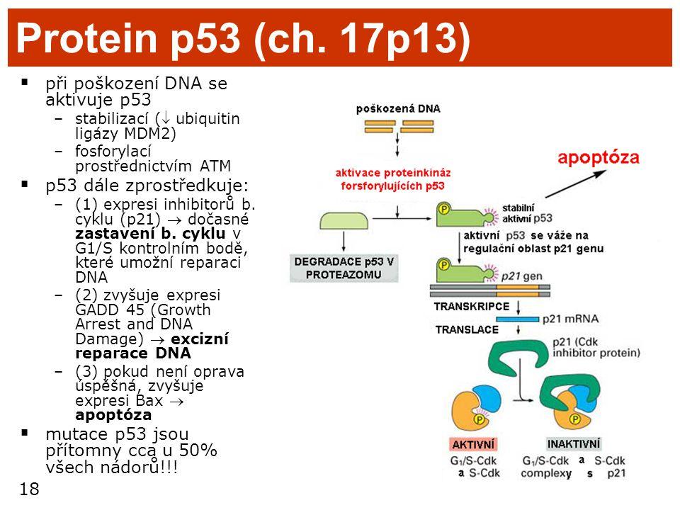 18 Protein p53 (ch. 17p13)  při poškození DNA se aktivuje p53 –stabilizací ( ubiquitin ligázy MDM2) –fosforylací prostřednictvím ATM  p53 dále zpro