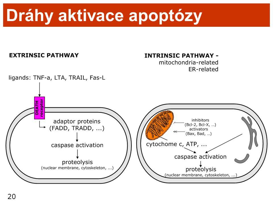 20 Dráhy aktivace apoptózy