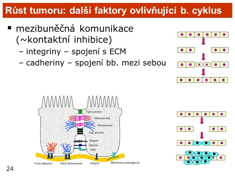 24 Růst tumoru: další faktory ovlivňující b. cyklus  mezibuněčná komunikace (~kontaktní inhibice) –integriny – spojení s ECM –cadheriny – spojení bb.