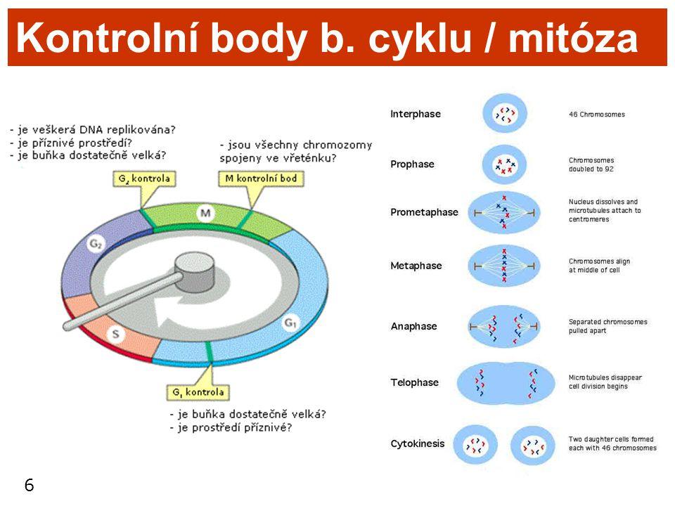 6 Kontrolní body b. cyklu / mitóza
