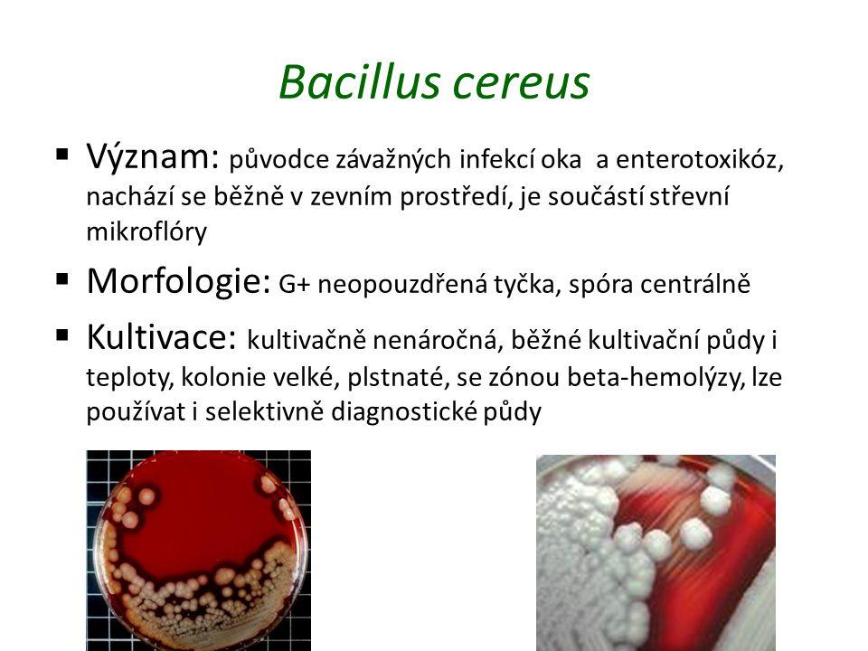 Bacillus cereus  Význam: původce závažných infekcí oka a enterotoxikóz, nachází se běžně v zevním prostředí, je součástí střevní mikroflóry  Morfologie: G+ neopouzdřená tyčka, spóra centrálně  Kultivace: kultivačně nenáročná, běžné kultivační půdy i teploty, kolonie velké, plstnaté, se zónou beta-hemolýzy, lze používat i selektivně diagnostické půdy