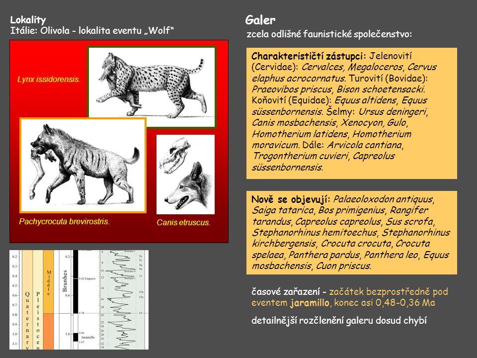 "Lokality Itálie: Olivola - lokalita eventu ""Wolf"" Lynx issidorensis. Pachycrocuta brevirostris. Canis etruscus. Galer Charakterističtí zástupci: Jelen"