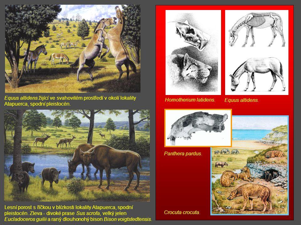 Homotherium latidens. Equus altidens. Panthera pardus. Crocuta crocuta. Lesní porost s říčkou v blízkosti lokality Atapuerca, spodní pleistocén. Zleva