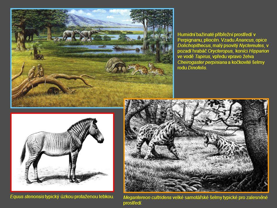 Equus stenonsis typický úzkou protaženou lebkou. Humidní bažinaté příbřežní prostředí v Perpignanu, pliocén. Vzadu Anancus, opice Dolichopithecus, mal