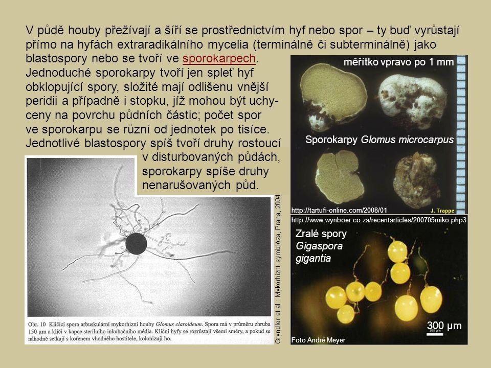 http://www.wynboer.co.za/recentarticles/200705miko.php3 Foto André Meyer Zralé spory Gigaspora gigantia 300 µm Sporokarpy Glomus microcarpus měřítko v