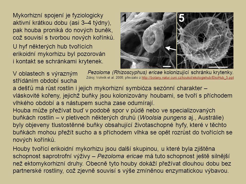 Mykorhizní spojení je fyziologicky aktivní krátkou dobu (asi 3–4 týdny), pak houba proniká do nových buněk, což souvisí s tvorbou nových kořínků. U hy