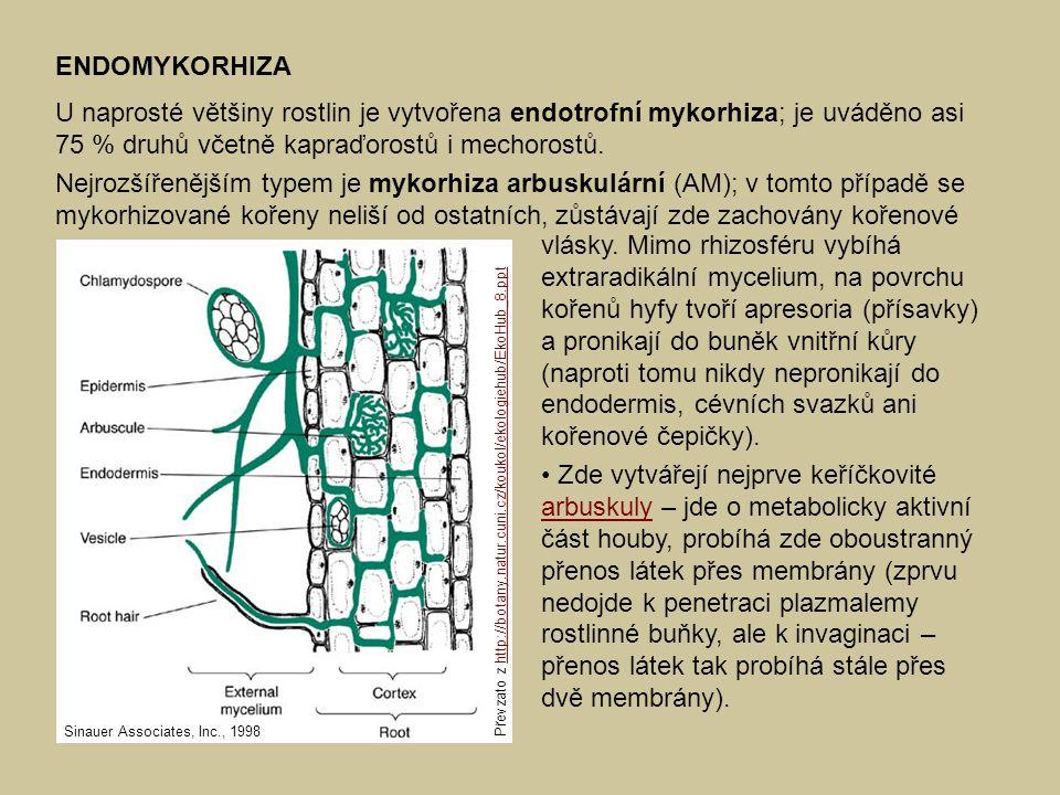 ENDOMYKORHIZA U naprosté většiny rostlin je vytvořena endotrofní mykorhiza; je uváděno asi 75 % druhů včetně kapraďorostů i mechorostů. Nejrozšířenějš